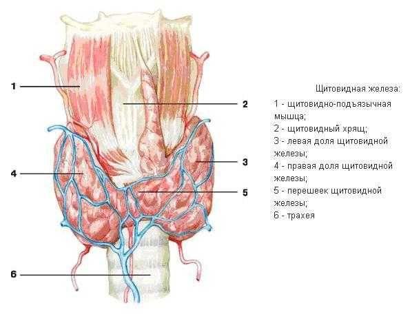 Анализ крови на гормоны щитовидной железы, норма, расшифровка, подготовка