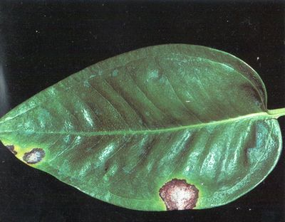 Антуриум-болезни и вредители, определяем и лечим