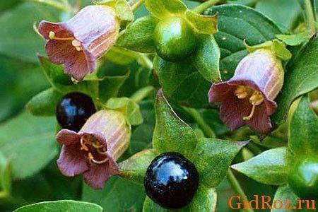 Беладонна - растение ядовитое, но очень полезное в медицине!