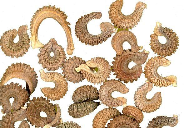 Семена календулы на фото