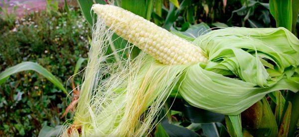 Кукурузные рыльца при панкреатите