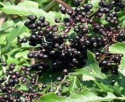 Черная бузина от псориаза