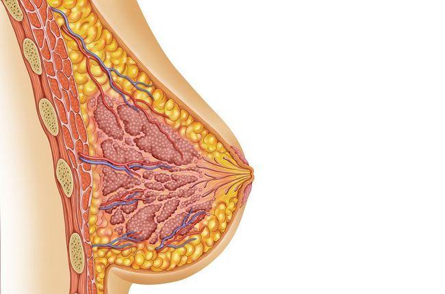 Молочные железы: строение, функции, заболевания