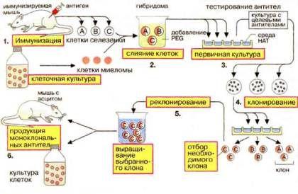 Схема получения моноклональных антител