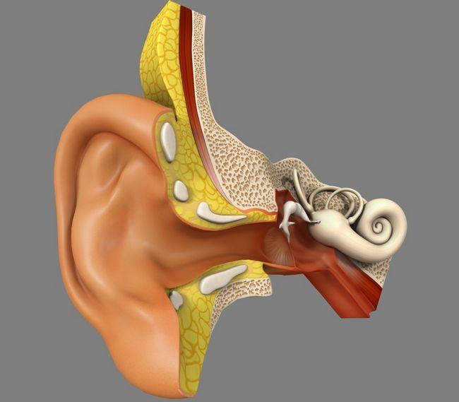 Орган слуха