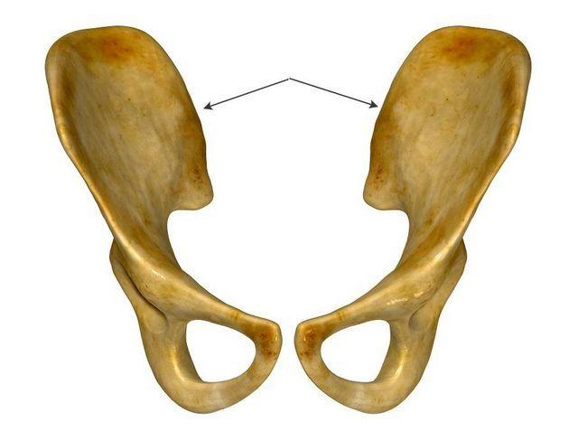 Подвздошная кость