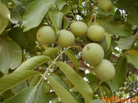 Отвар из листьев грецкого ореха - пота как ни бывало!