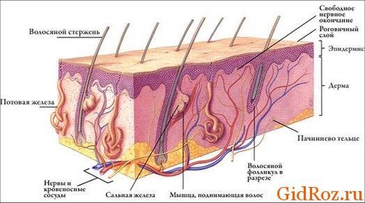 Заметьте, насколько сложно создан наш организм! Но при этом любые мельчайшие детали, такие как потовые железы, на своих местах и исполняют свою функцию!