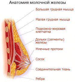 Причины отвисшей груди (мастоптоза)