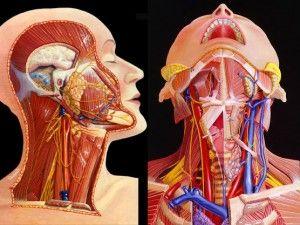 расположение органов головы и шеи