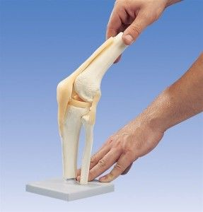 Строение и функциональность коленного сустава