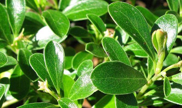 Листья толокнянки